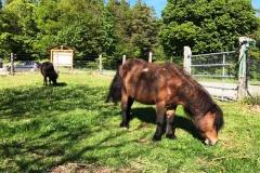 poney shetland2