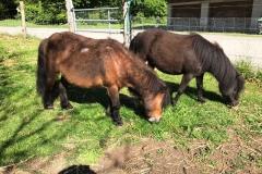 poney shetland4