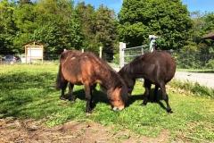 poney shetland