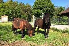 poney shetland3